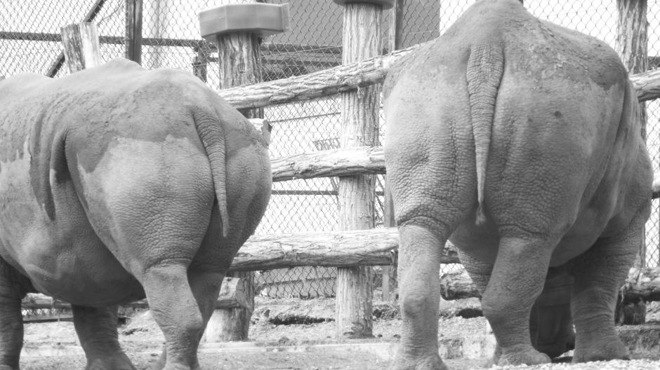 Rhinos farting around